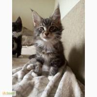 Продам элитных котят мейн-куна с родословной от умненькой мамы