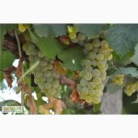Изысканное натуральное ЭКО-вино ШАРДОНЕ