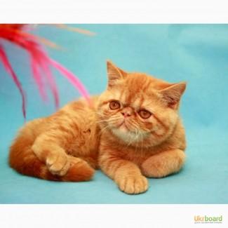 Экзот чистокровный котенок