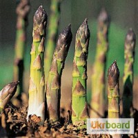 Продам саженцы, корневища спаржи голландской белой и зеленой в розницу и оптом
