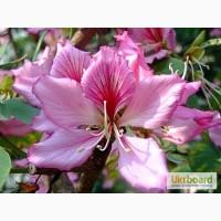 Комнатное растение, Орхидейное дерево. 2 семечки