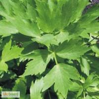 Любисток листья 50 грамм