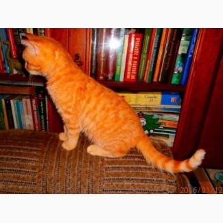 Коты, кошки, котята скоттиш-страйты, скоттиш-фолды
