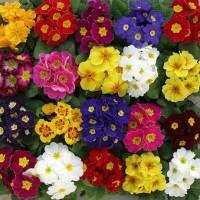 Цветы к 8 Марта оптом примула (широкий ассортимент цветов)