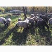 Романівська Порода овець