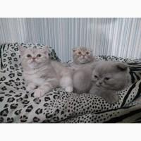 Британские котята, срочно, недорого