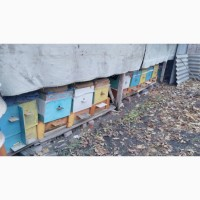Продам пасіку 13 вуликів термінової бджоли породи Українська степова