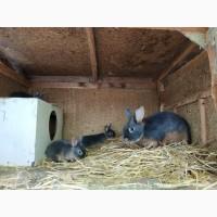 Продам черно огненных кролей, огненных голубых кролей