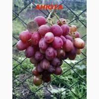 Черенки и саженцы крупноплодного винограда