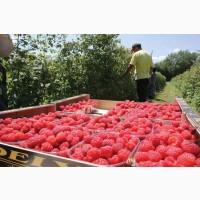 На переработку ягод и овощей ищем бригаду 10 чел