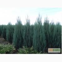 Можжевельник голубой коллоновидный Блу Арроу (juniperus Blue Arrow) 1.7-1.8 Киев купить.