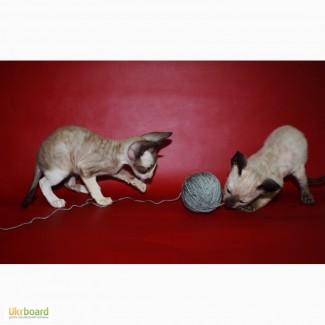 Продам котят породы корниш-рекс