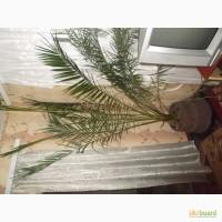 Продам финиковую пальму возраст 10 лет
