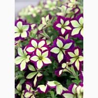 Открыт прием заказов на рассаду цветов из Голландии (петуния, сурфиния, пеларгония)