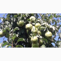 Продам грушу урожай 2018