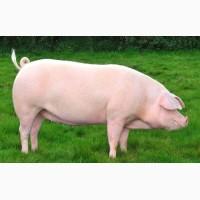 Концентрат от производителя для свиней