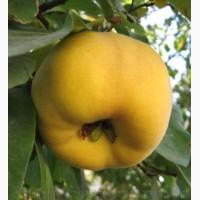 Продам саженцы Айва лесная низкорослая (без кома) и много других растений