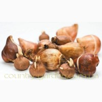 Продам луковицы Тюльпанов Мультифлора и много других растений (опт от 1000 грн)