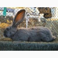 Продам кроля породы голубой фландер