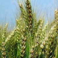 Озима пшениця Металіст