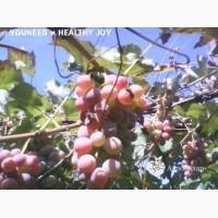 Ягоды Виноград Лидия Розовая, Изабелла 100 - 150 кг. или чистый 100% сок