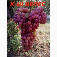 Черенки исаженцы кышмышных сортов винограда