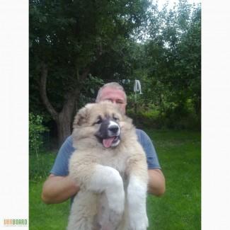 Уход за щенками кавказскими овчарками