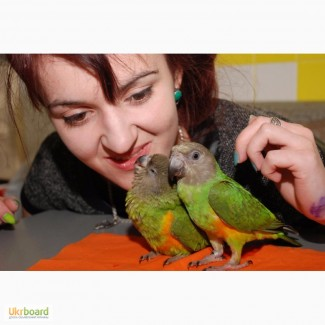 Талантливые сенегальские попугаи - сенегалы выкормыши ручные