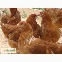 Подрощенные цыплята Редбро