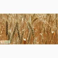 Пшеница фураж 500 тонн