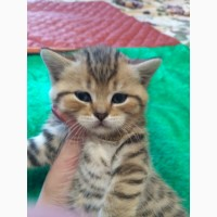Британские котятя окрас вискас и мрамор на серебре