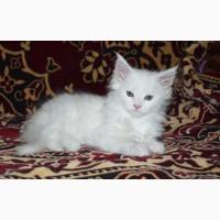 Продам элиту кошек-ее зовут мейн-кун