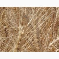 Озимая пшеница Краплина элита и 1 репр