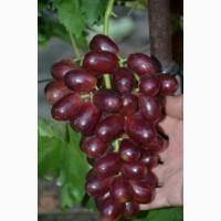 Саженцы винограда лучших сортов (однолетние )