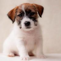 Джек -Рассел-Терьер:купить щенка джек рассел терьера