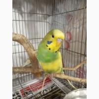 Волнистые попугаи, Выставочные чехи и другие мелкие породы