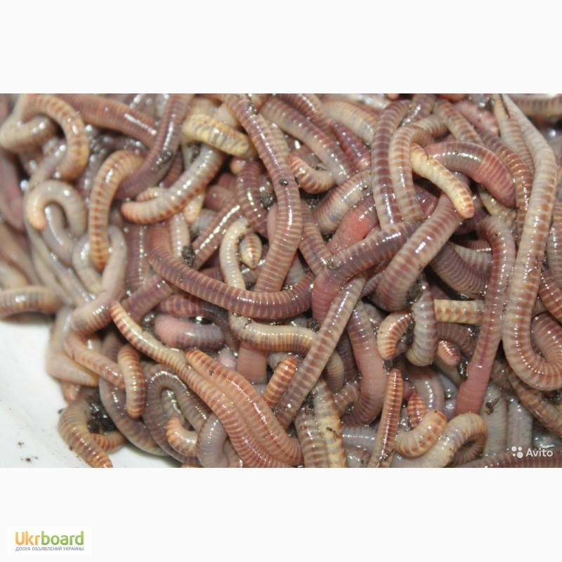 продажа червей для рыбалки в новосибирске