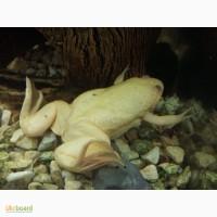 Продам жаб жовтих