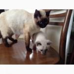 Продам Сиамских котят
