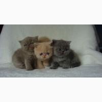 Британские короткошерстные котята для принятия