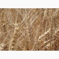 Пшеница озимая Одесская 267 элита и 1 репр