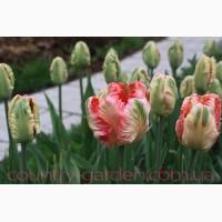 Продам луковицы Тюльпанов Попугайных и много других растений (опт от 1000 грн)