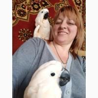 Птенцы выкормыши молуккского какаду