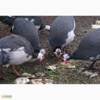 Продам яйцо инкубационное:красная мускусная утка,цесарка,бентамка,фаз ан золотой
