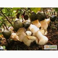Грибница веселки обыкновенной. Мицелий гриба веселка обыкновенная для выращивания дома
