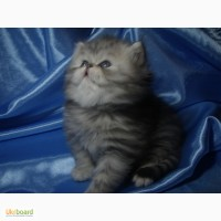 Продам котят порода перс шиншила