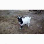 Камерунский козы