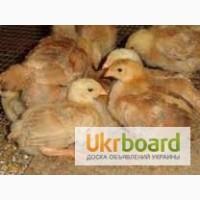 Продам суточных и подрощенных цыплят мясо-яичных Фокси чик
