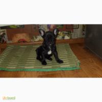 Продам щенка французского бульдога. Возраст 3 месяца, девочка привита. 3000 грн