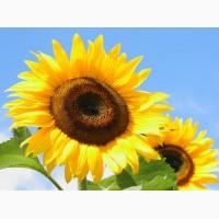 Продаём высококачественные семена подсолнечника, гибриды и сорта, кондитерские и масличные